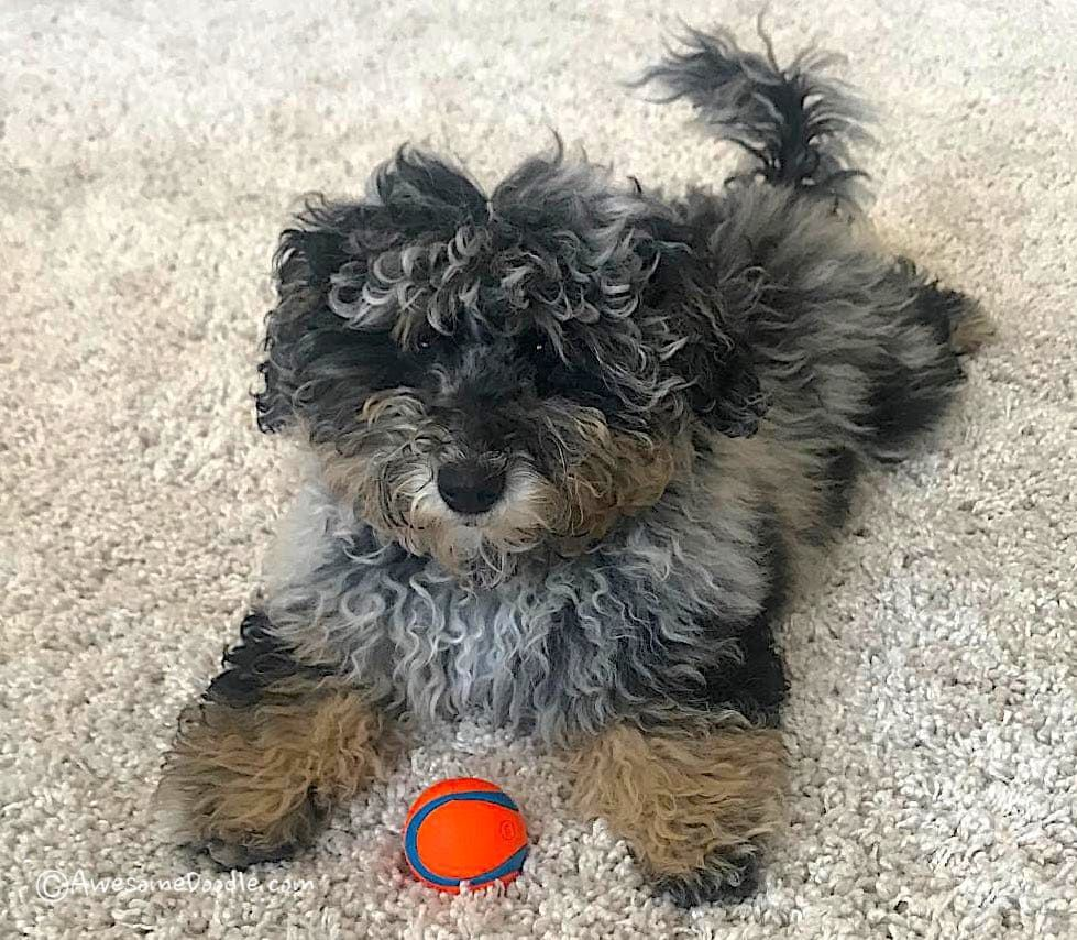 Pin On Aussiedoodle Puppies