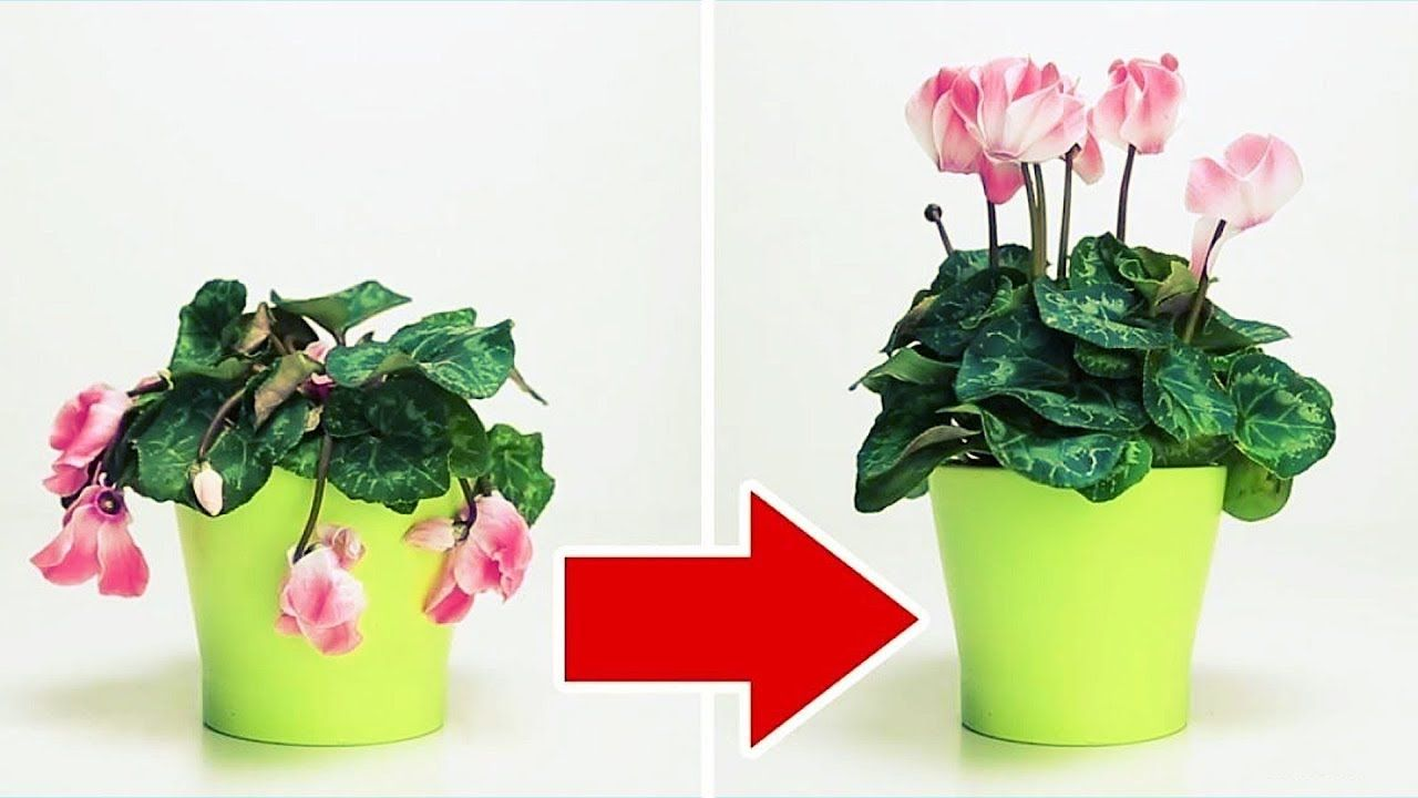 how to revive roses in a pot