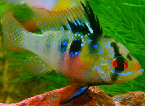 Female German Blue Ram Cichlids Tropical Fish Aquarium Fish