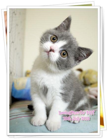 Blue And White British Shorthair Female Kitten Gatitos Lindos
