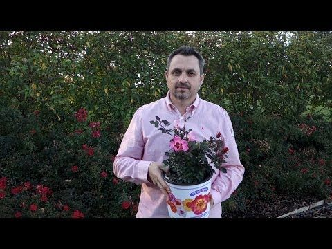 ▶ Introducing Sweet Spot - the Decorator Rose - YouTube
