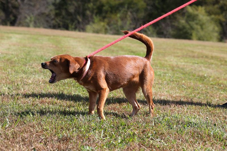 How To Manage Leash Reactivity In Your Dog Smartest Dog Breeds
