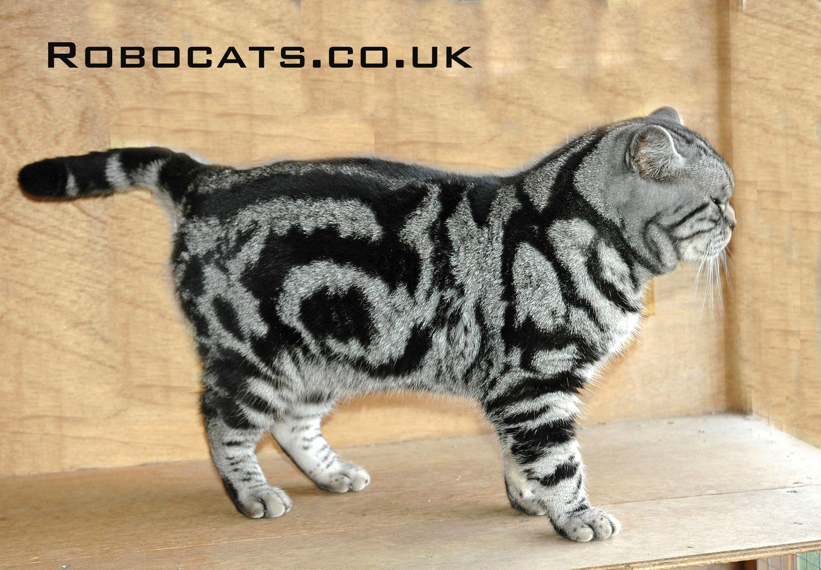 Silver Tabby British Shorthair Cat Male British Shorthair Cats British Shorthair Tabby Cat