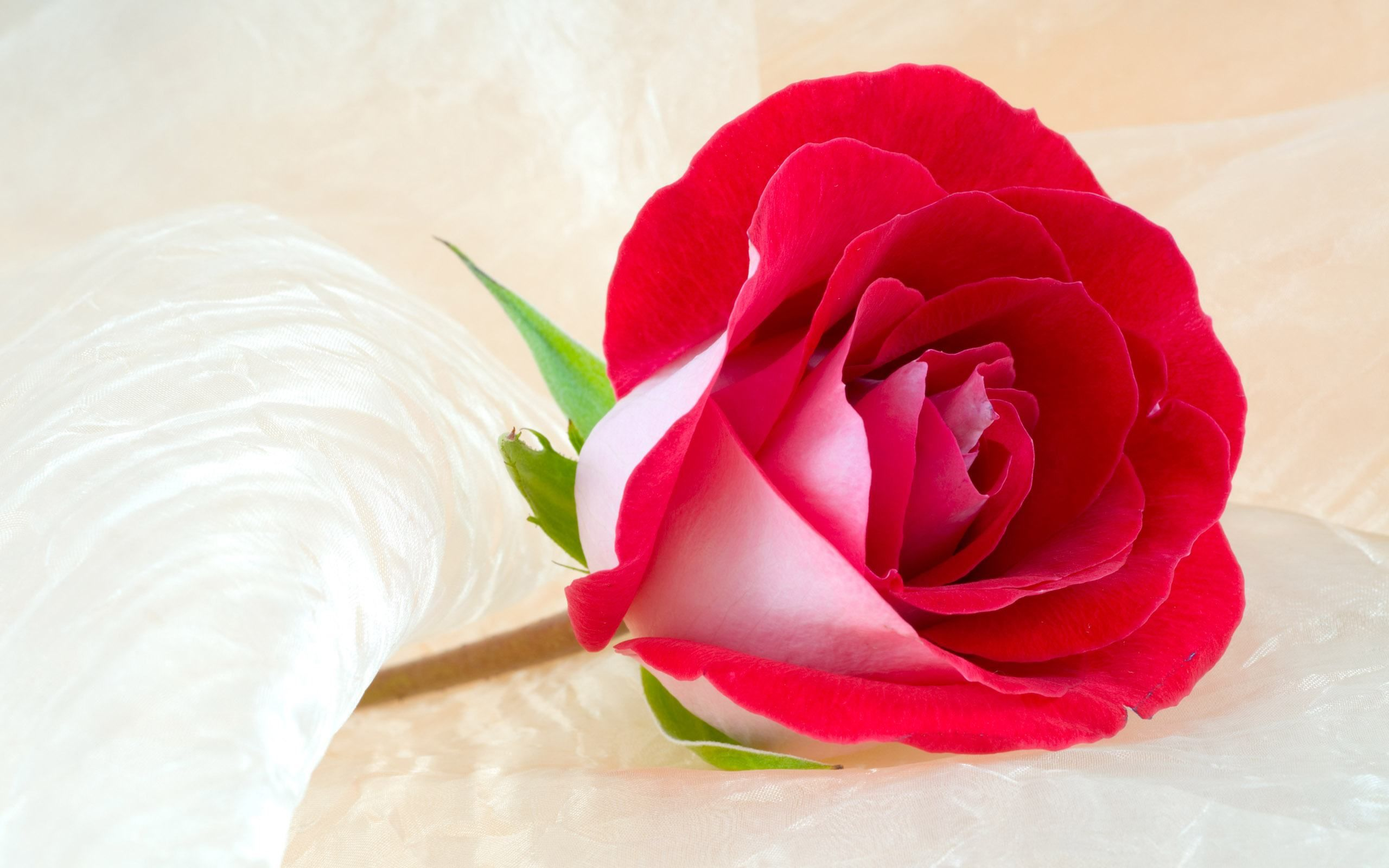 Rose Flower Wallpaper Hd Free Download