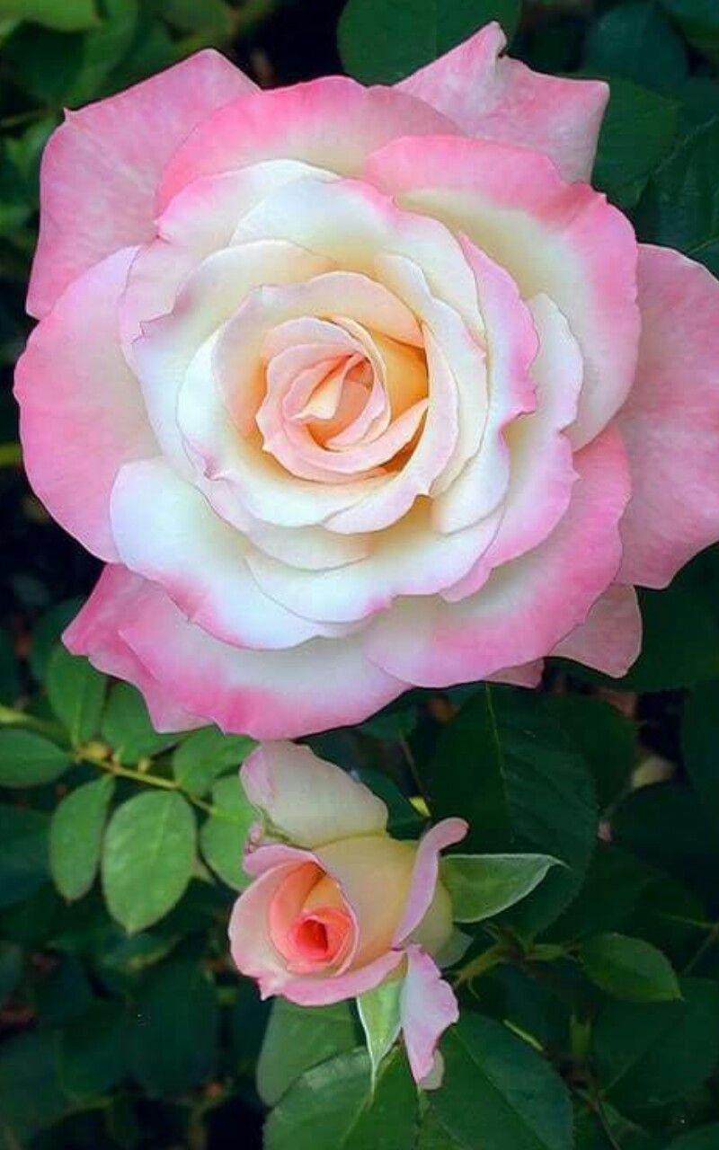 pink roses gul rose pinterest fleurs et langage des fleurs. Black Bedroom Furniture Sets. Home Design Ideas