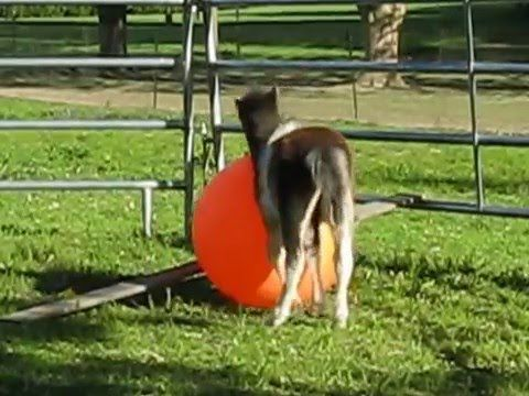 Miniature Horse  Baby Preacher Playing with Big Ball Part 1