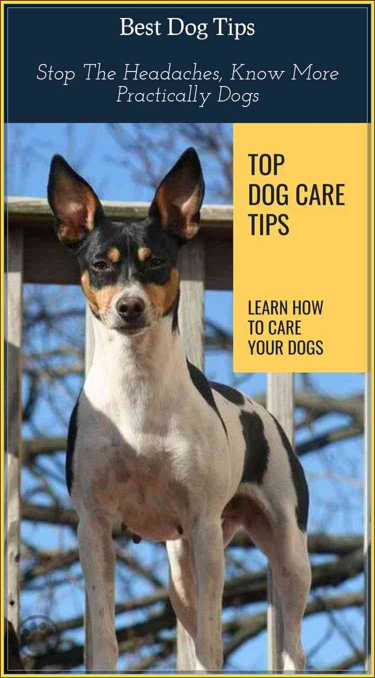 Tips You Should Know When Dealing With Dogs Rat Terrier Dogs