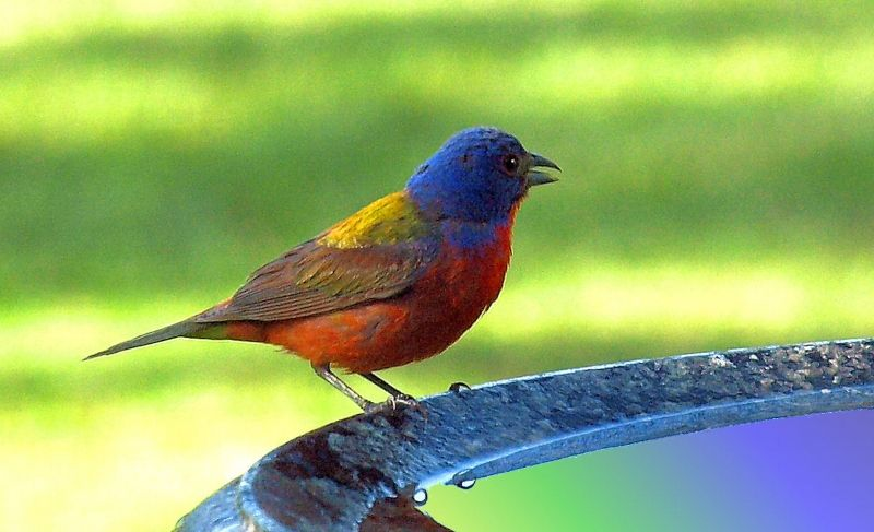 Painted Bunting Photo By Charles Baxter Argyle, Texas