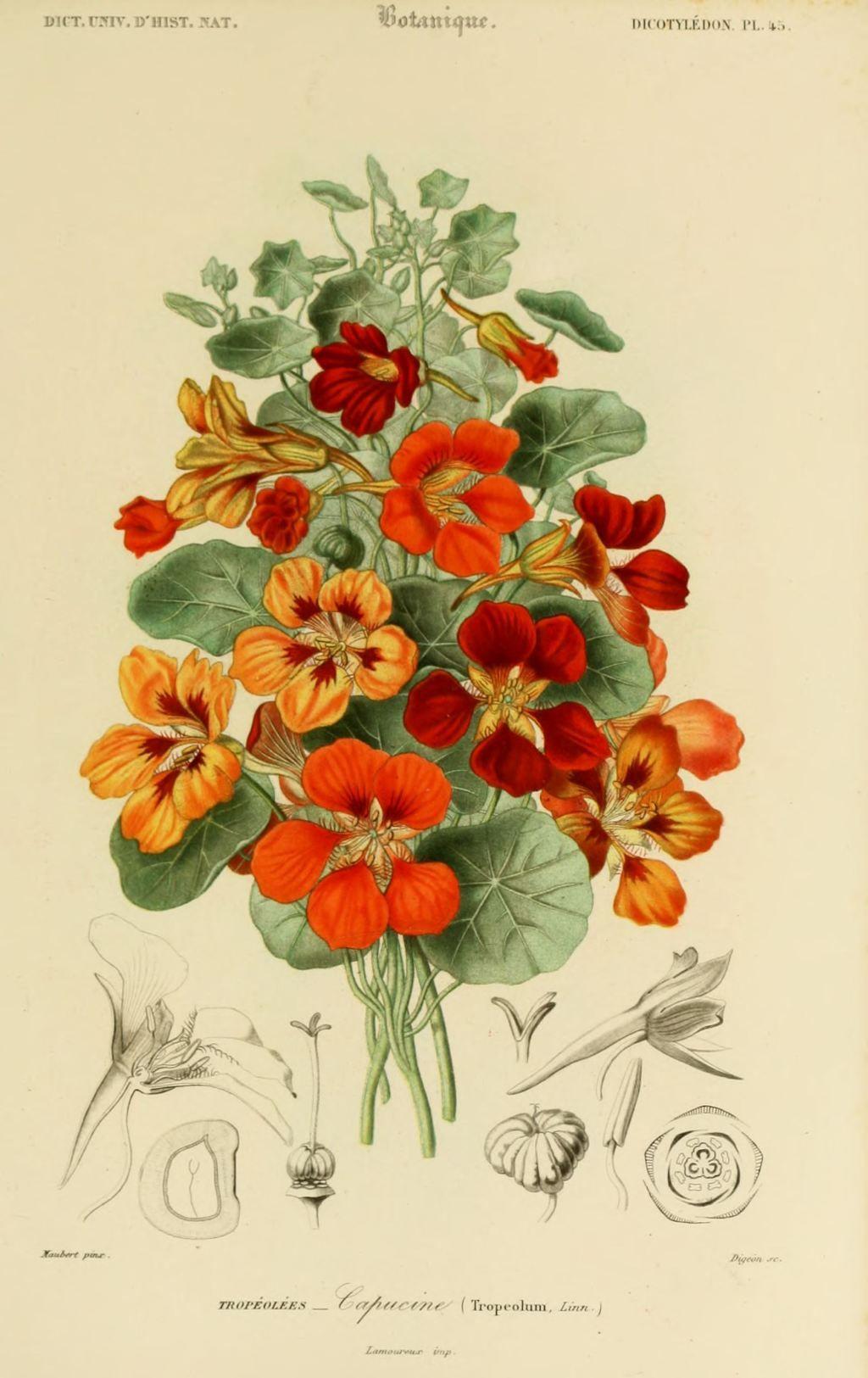 Img dessins couleur fleurs dessin botanique de fleur 0141 capucine botanic - Coloriage fleur capucine ...