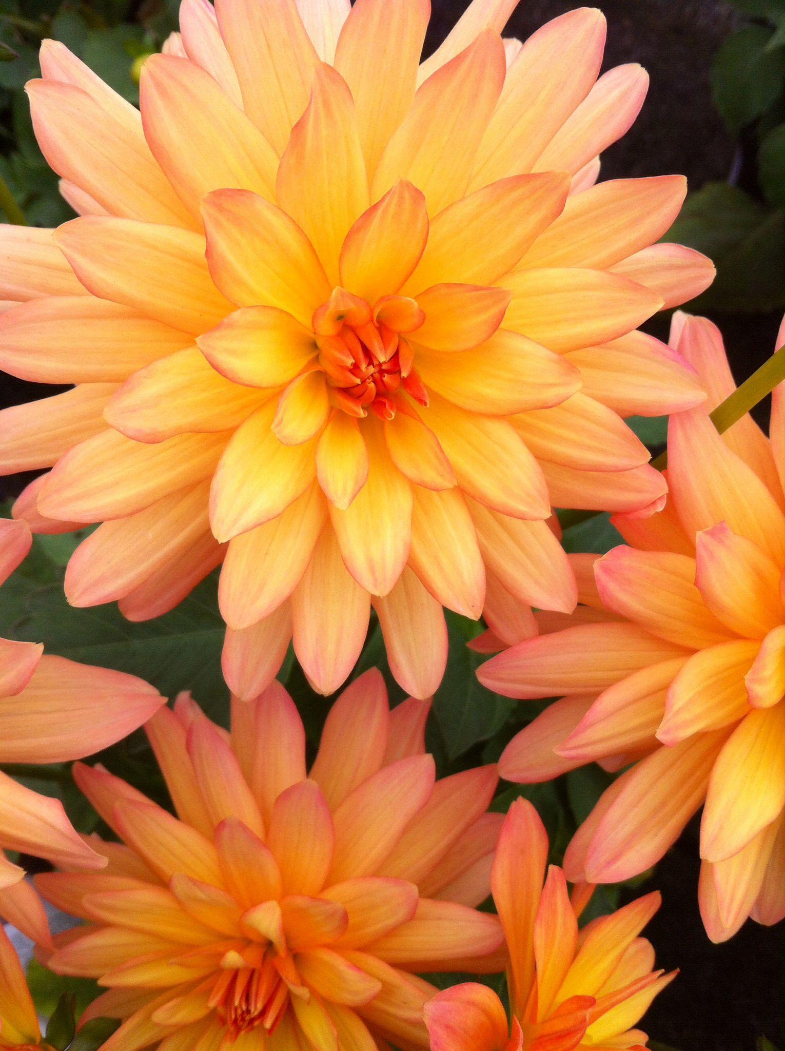 Orange Dahlia Home Decor Pinterest Dahlia
