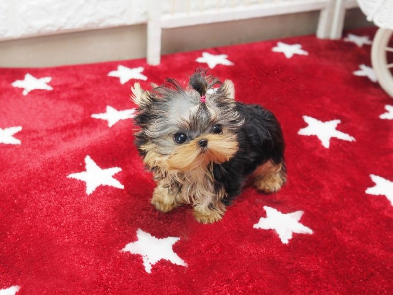 Micro Teacup Yorkie Yorkshire Terrier Long Short Coat Puppy