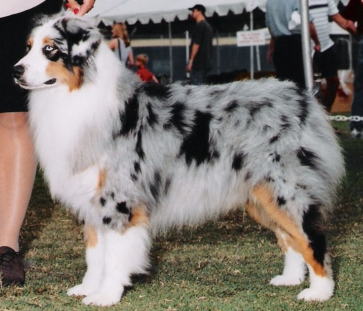 About Aussies Australian Shepherd Breeders Australian Shepherd