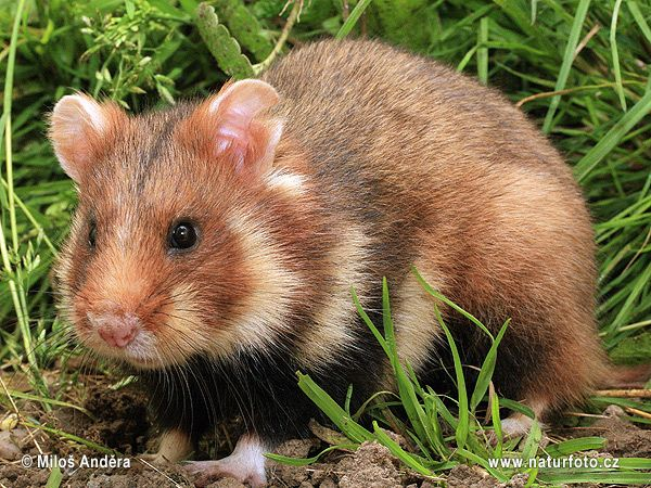 The Magic Of The Internet Pet Rodents Animals Wild Hamster
