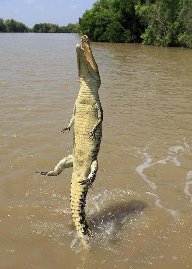 Surfer Besiegt Krokodil Krokodile Krokodil Tiere