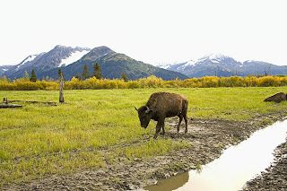 Wood bison in Alaska. See more Alaska animals at 8 reasons to live in Alaska, http://photographyseethelight.blogspot.com/2013/09/eight-reasons-to-live-in-alaska.html