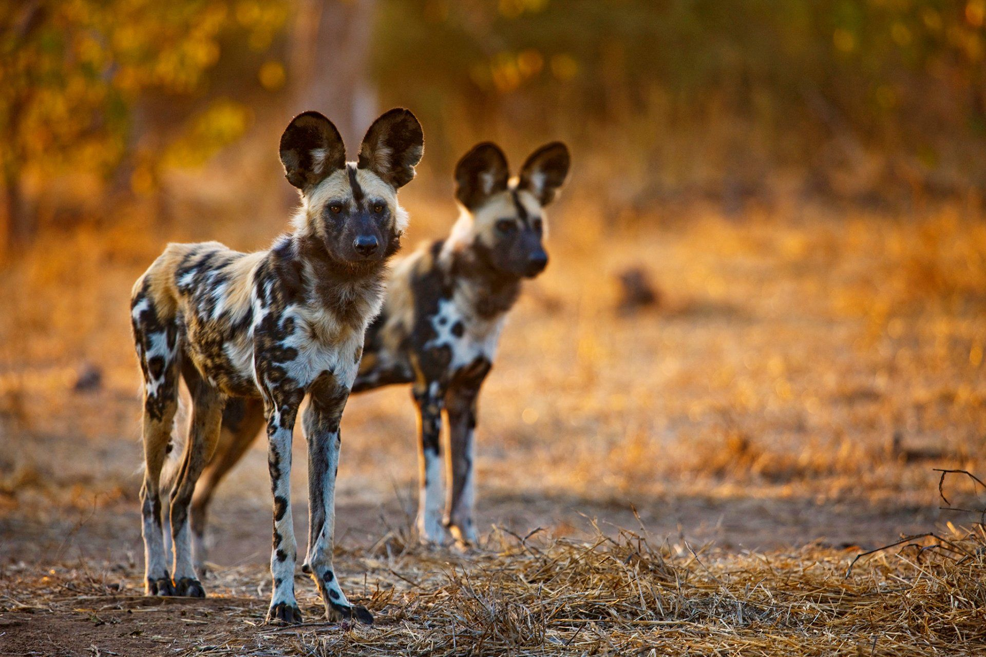 Animal African Wild Dog Wild Dog Wildlife Wallpaper