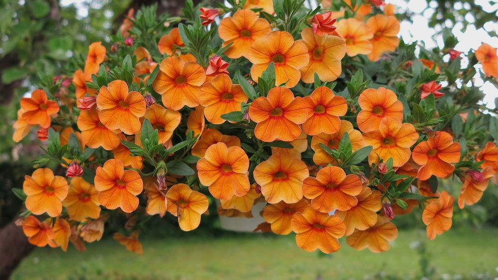 The Mysterious Case Of The Orange Petunia Garden Rant Hanging Flower Baskets Petunias Container Gardening