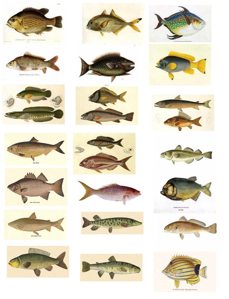 fish vintage scientific illustration ephemera pinterest