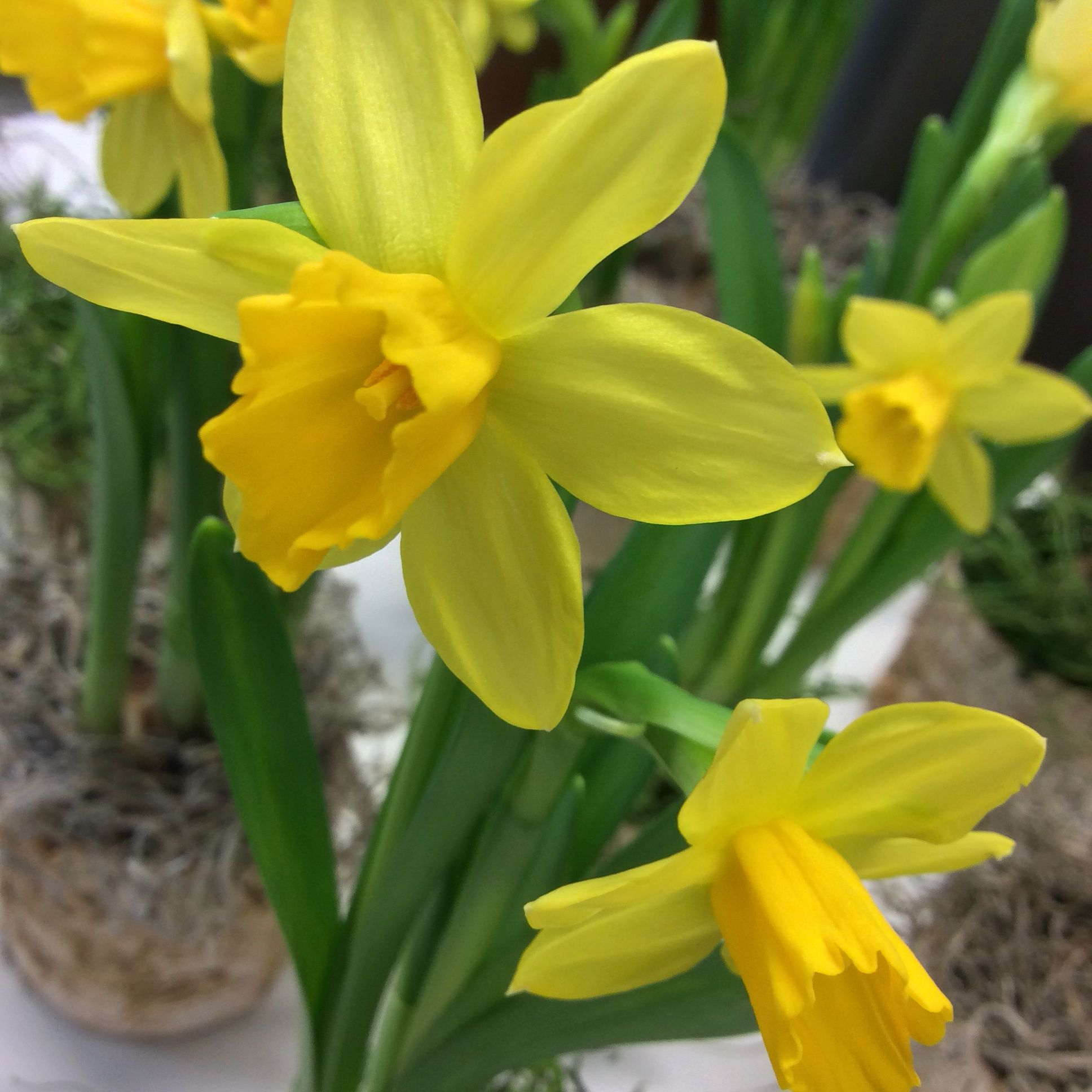 Miniature daffodils given a contemporary twist by The Tayler Studios by pairing with Birch and Moss