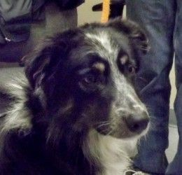 Adopt Corry I Ve Been Adopted On Petfinder Border Collie Dog Dogs Border Collie Rescue