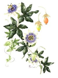 Animal Study Combo Melissa Officinalis And Passiflora Caerulea Inhibits Stress Related Cortisol Blue Passion Flower Flower Drawing Passion Fruit Flower