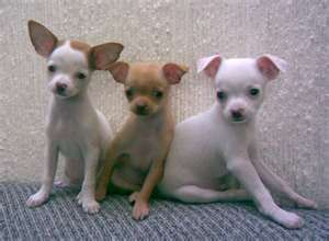 Pin By Allison Schroeder On Animals Chihuahua Dogs Cute Baby