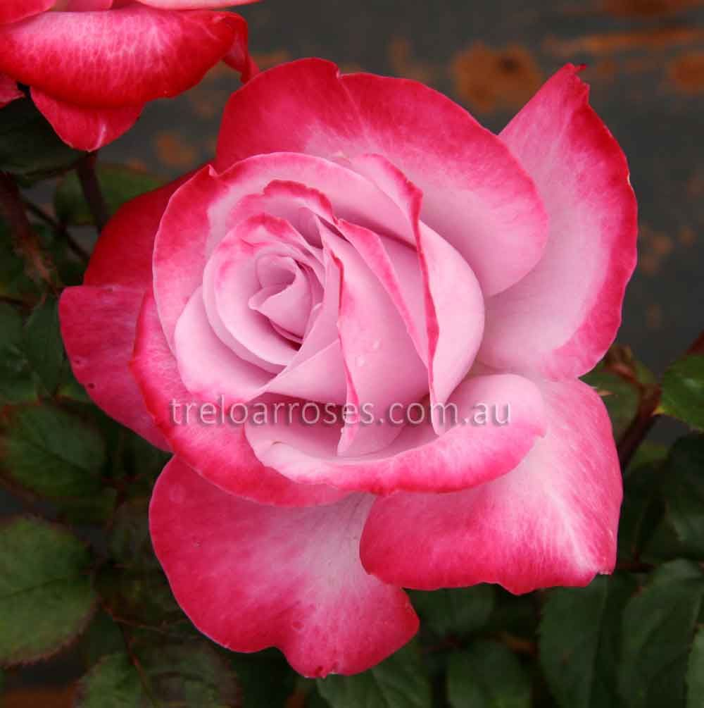 Paradise - Hybrid Tea rose - Unusual colouring of pink-mauve, flushed and edged in carmine. A beautifully formed and unique rose. Health and general growth is good. The ...