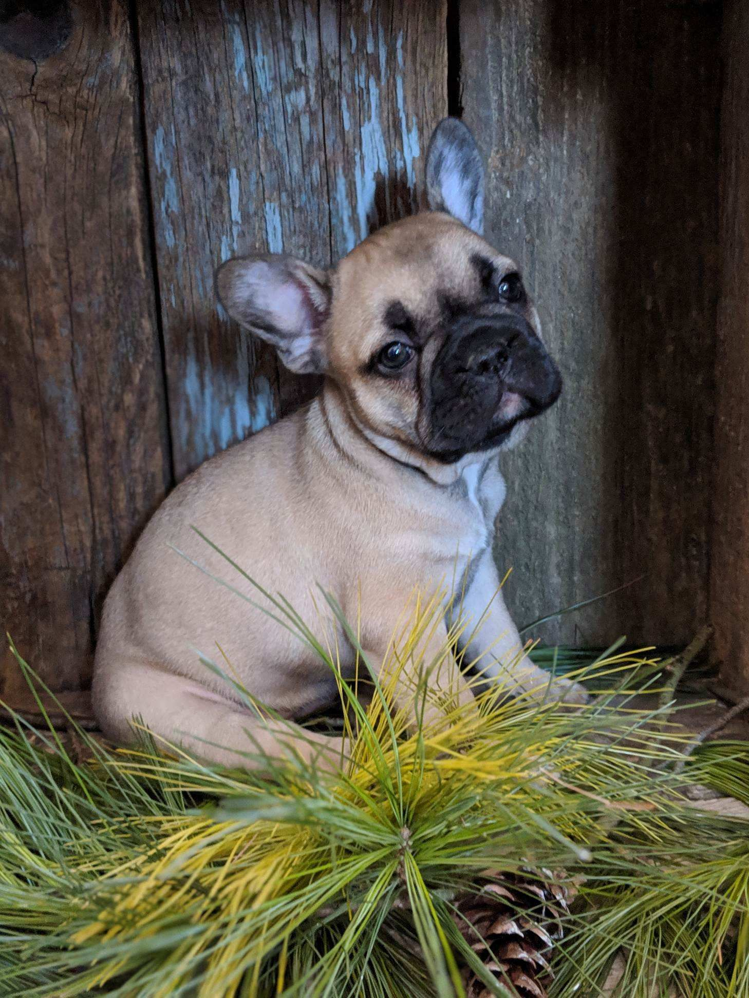 Puppies For Sale French Bulldog Puppies Bulldog Puppies French Bulldog