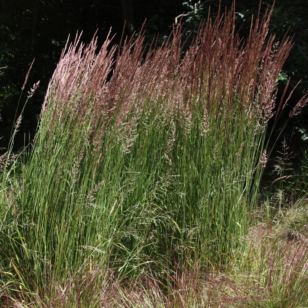 Calamagrostis x acutiflora 39 karl foerster 39 flowers for Planting plans with grasses
