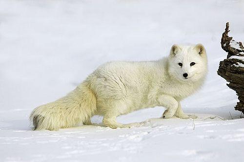zorro ártico Zorro-artico Zorro-artico | animales | Pinterest ...