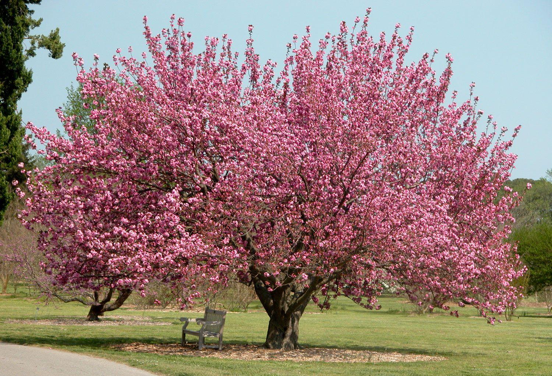 Buy Flowering Okame Cherry Trees Online Free Shipping Over 99 Flowering Trees Amazing Gardens Cherry Tree