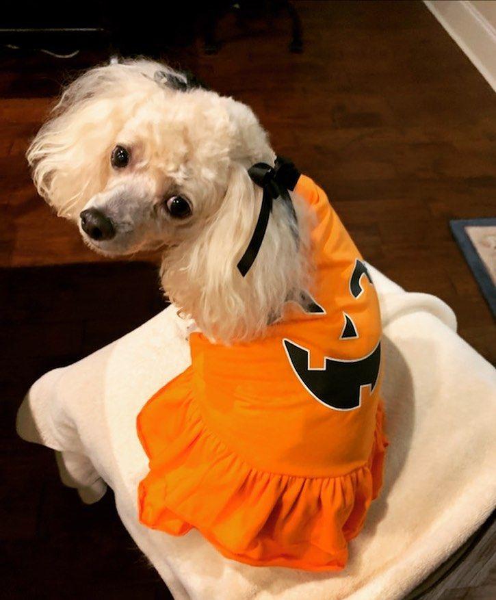 """Feeling like a #pumpkin!"" #halloween #halloween2020 #poodle #blonde #sassy #classy #unconditionallove #poodlesofinstagram #dogs #dogsofinstagram #doglife #poodlelove #poodlelife #dogmagazine"