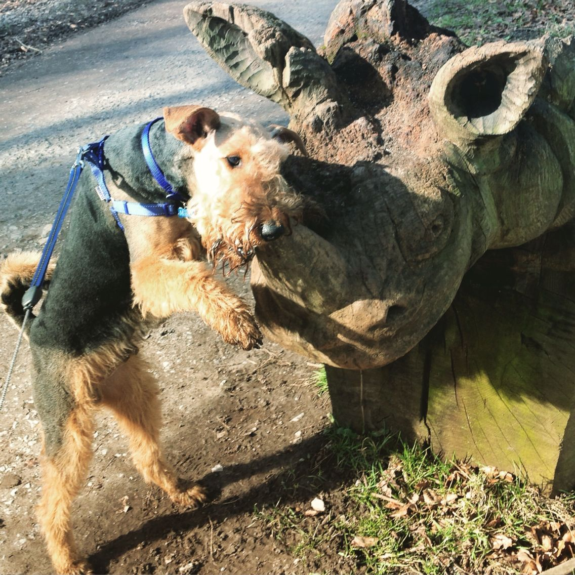 Arthur and rhino Airedale terrier, Terrier, Dogs