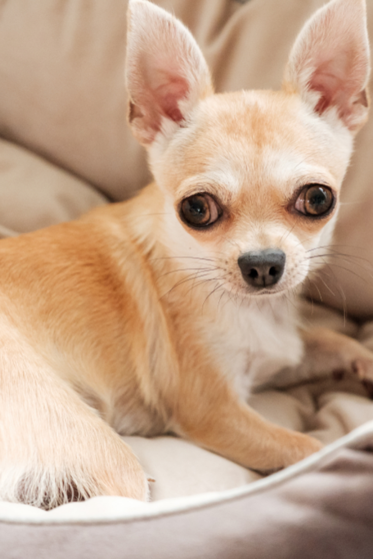 Closeup Portrait Of Small Funny Beige Mini Chihuahua Dog Puppy In 2020 Chihuahua Puppies Chihuahua Love Chihuahua Dogs