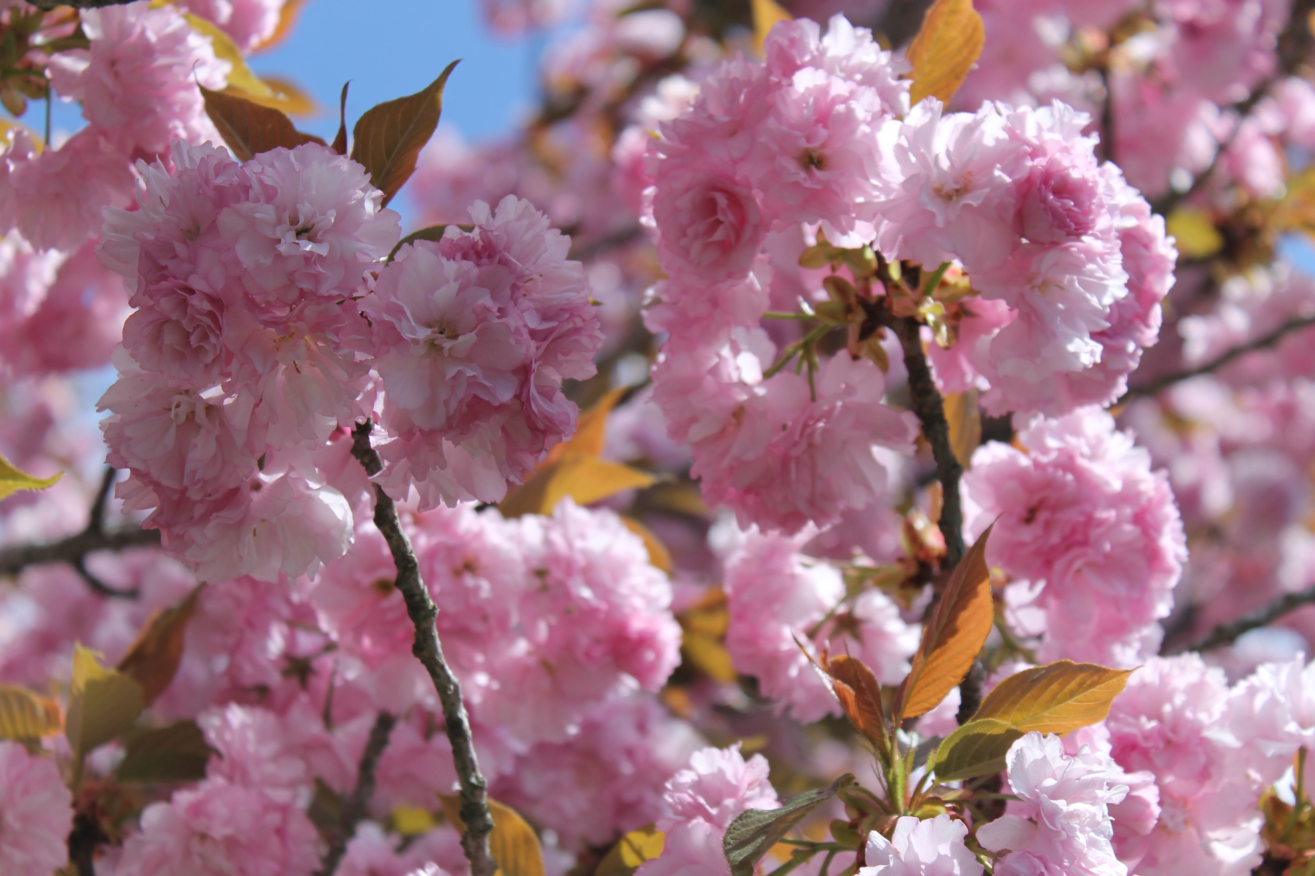 Mock Cherry Tree In Full Bloom Bloom Flower Petals Cherry Tree