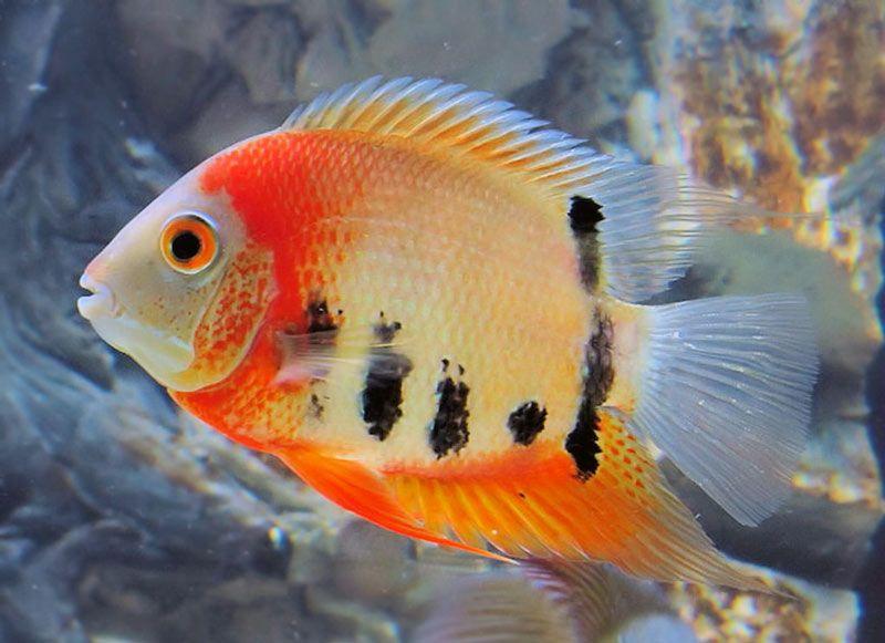 Pielegnica Severum Aquarium Fish Best Aquarium Fish Tropical Fish Aquarium