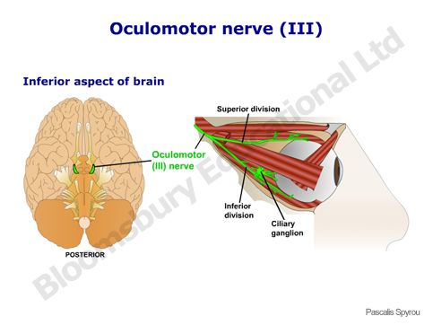 oculomotor nerve - The oculomotor nerve (CN III) innervates the ...