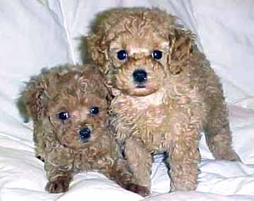 Loading Poodle Puppy Toy Puppies Miniature Poodle Puppy
