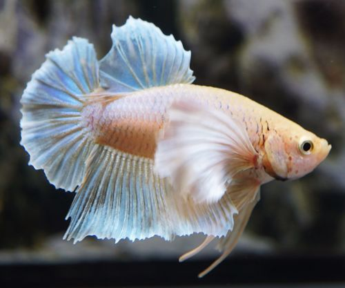 Pin By Ed Overmars On Beautiful Betta Fish Live Fish For Sale Betta Fish For Sale