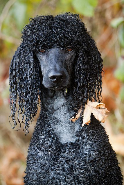 Serious And Dignified Poodle Poodle Dog Standard Poodle