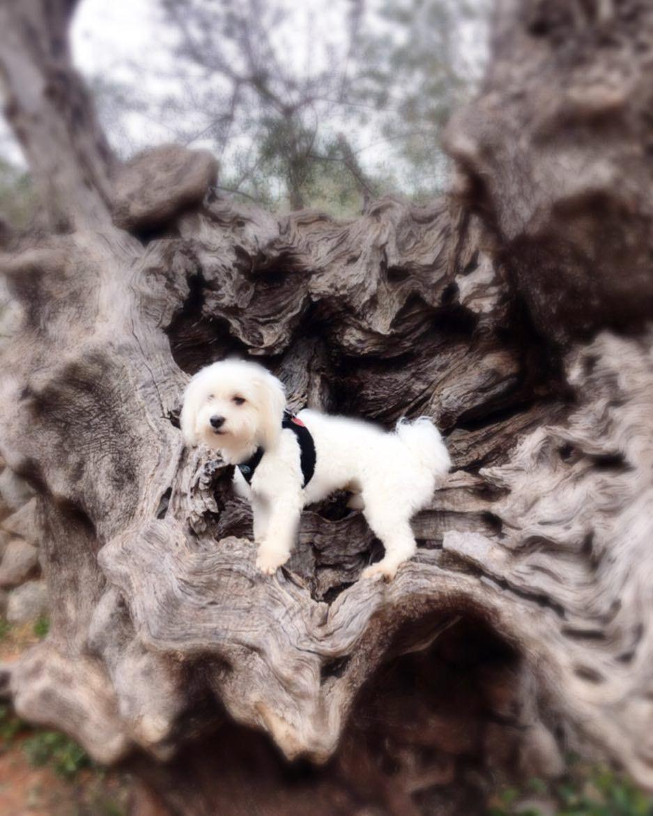 Mein Herrchen musste mich unbedingt auf diesen Olivenbaum setzen #olivenbaum #cutedog by rvvxy