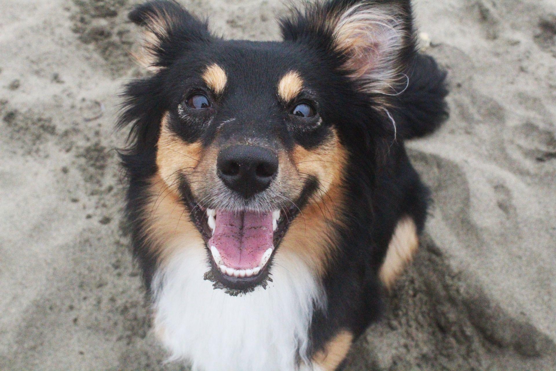 Luna's First Bay Area Aussie Meetup Animal photography