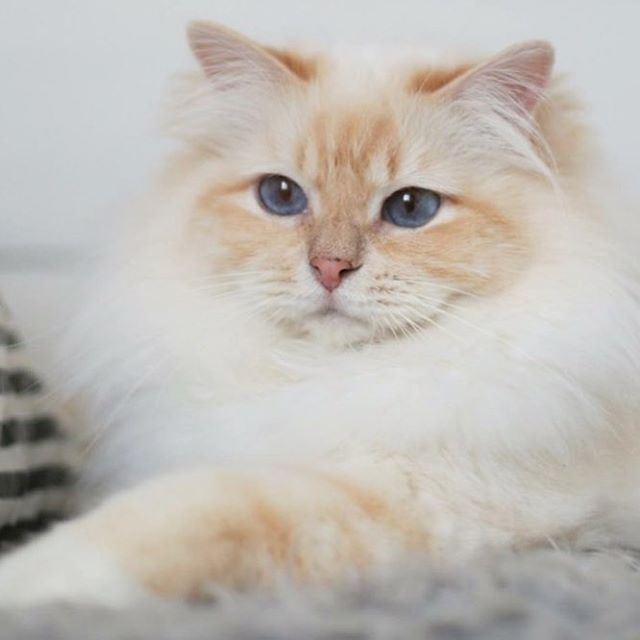 A Birman can be flame point, same white mitts Gatinhos fofos