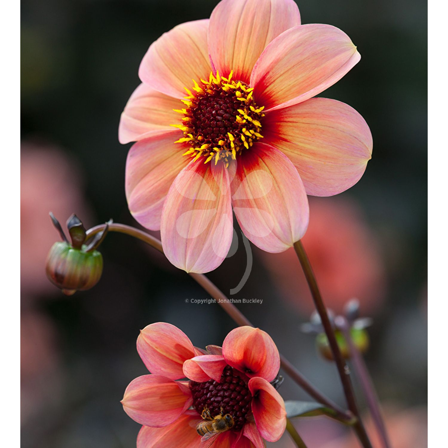 Dahlia Happy Single Kiss Gardeningpink Flowers Pinterest