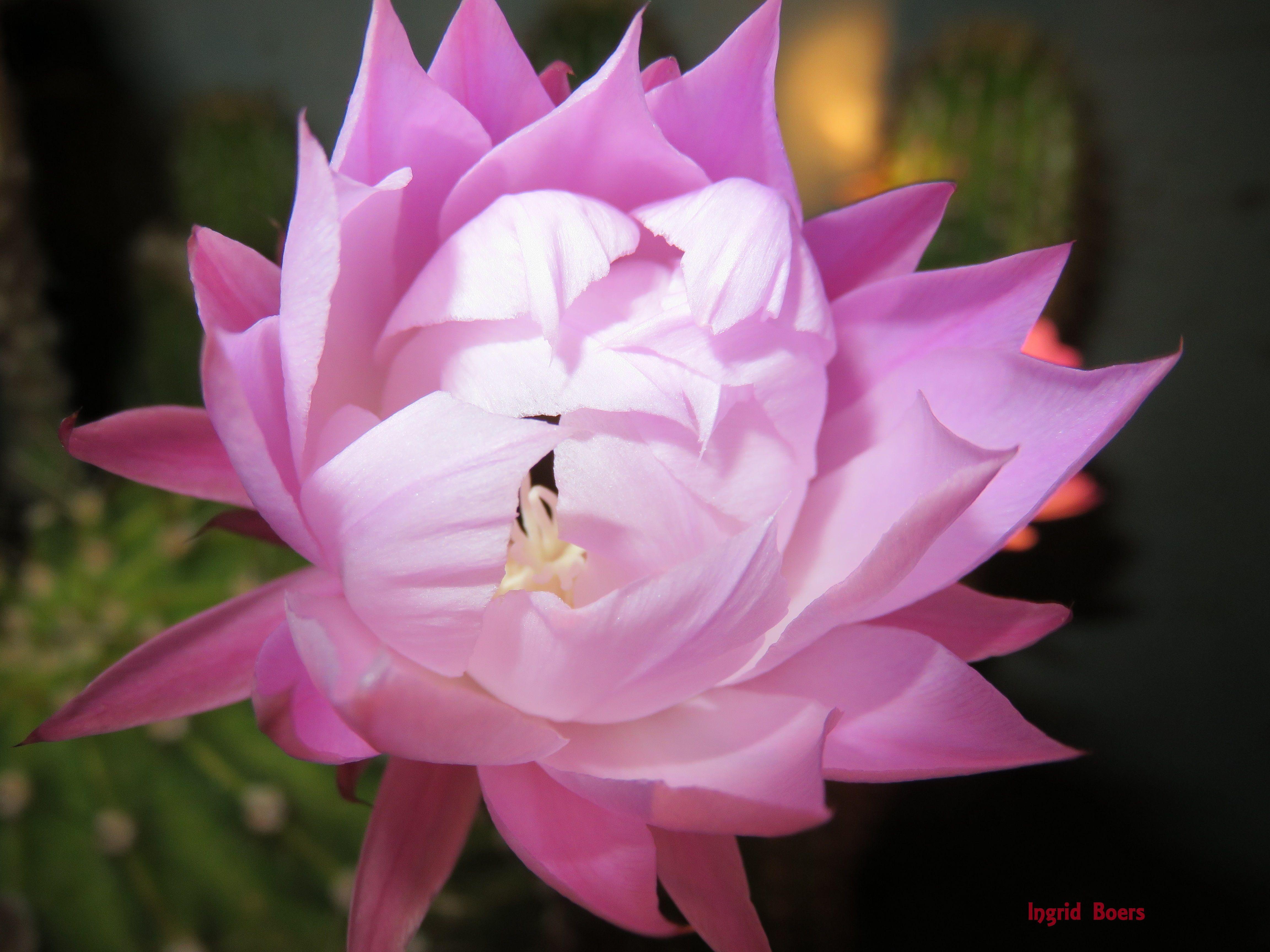 My Beautiful Cactus Flower Just Sharing My Beautiful Flowers