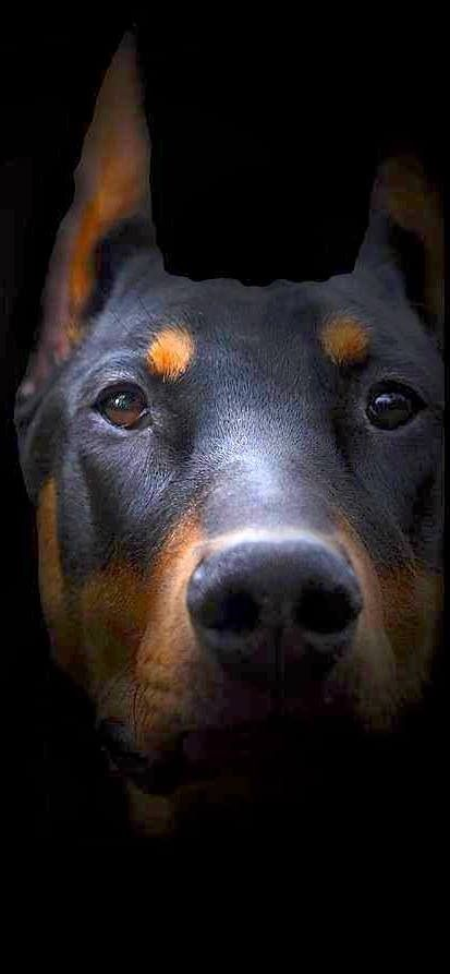 Satin Balls Recipe For Underweight Dogs Doberman Dogs Dogs Dog