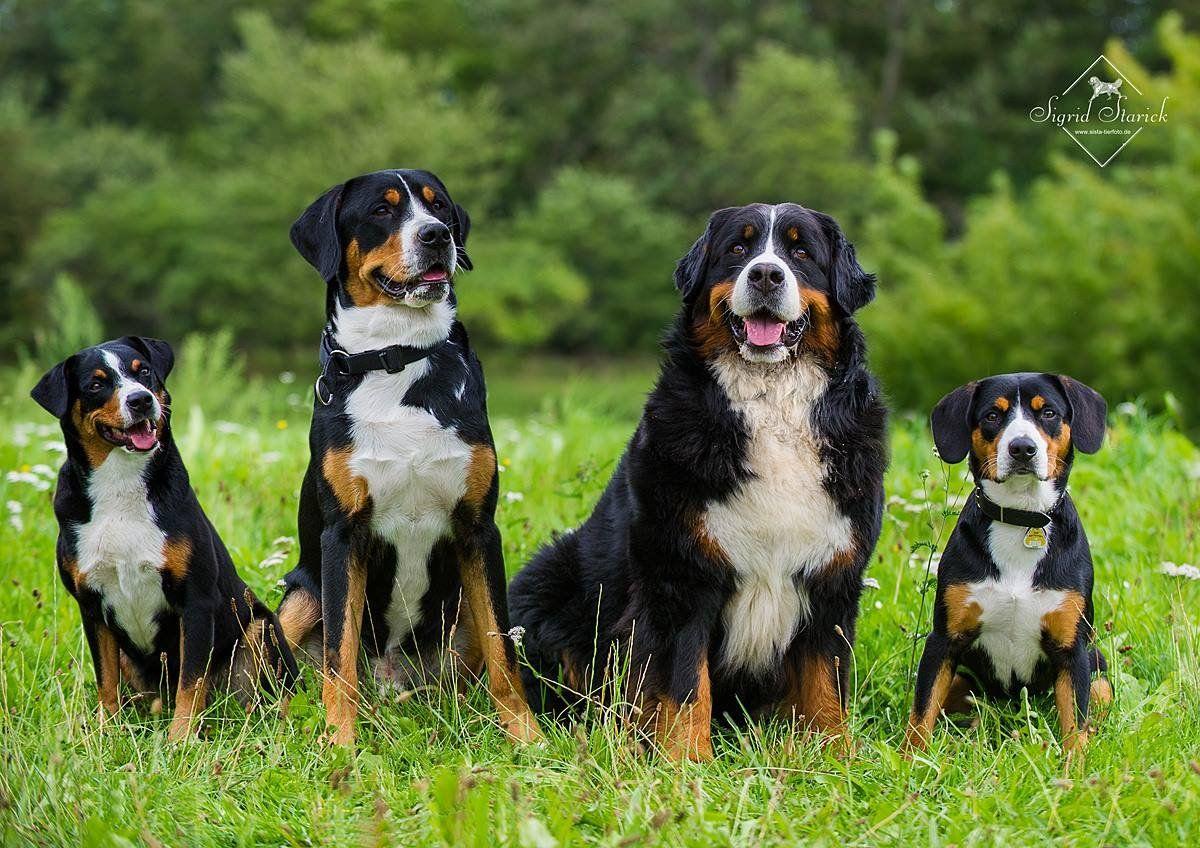 Appenzeller Sennenhund Dogs Wild Dogs Dog Breeds