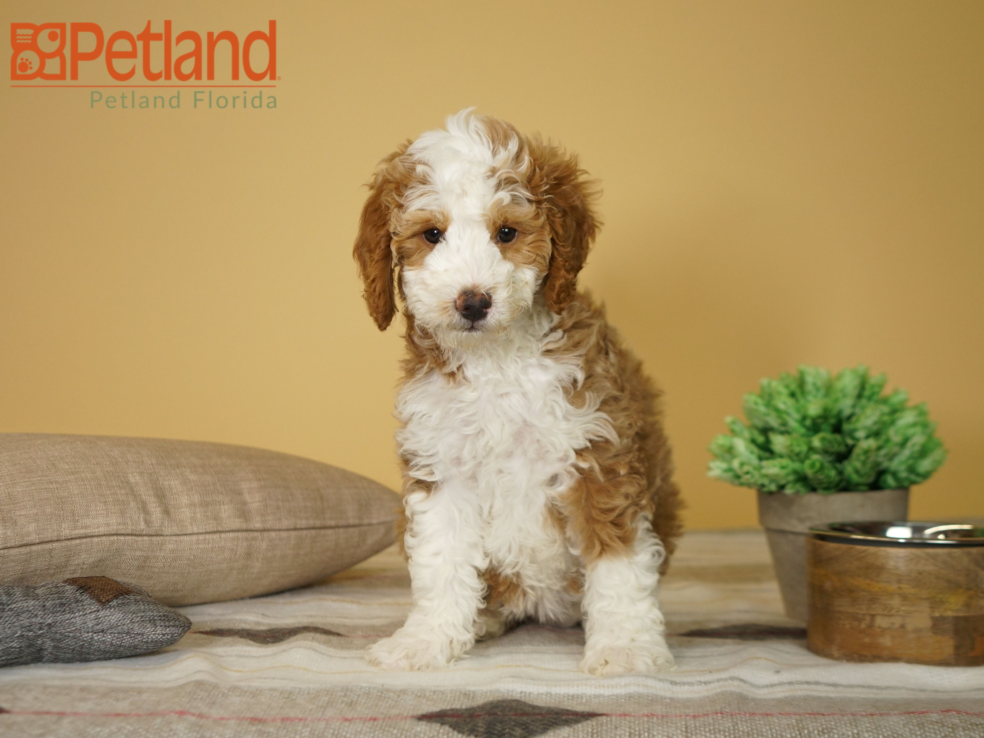 Petland Florida Has Mini Goldendoodle Puppies For Sale Check Out
