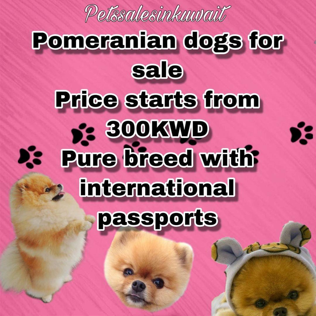 Pin On Pomeranians