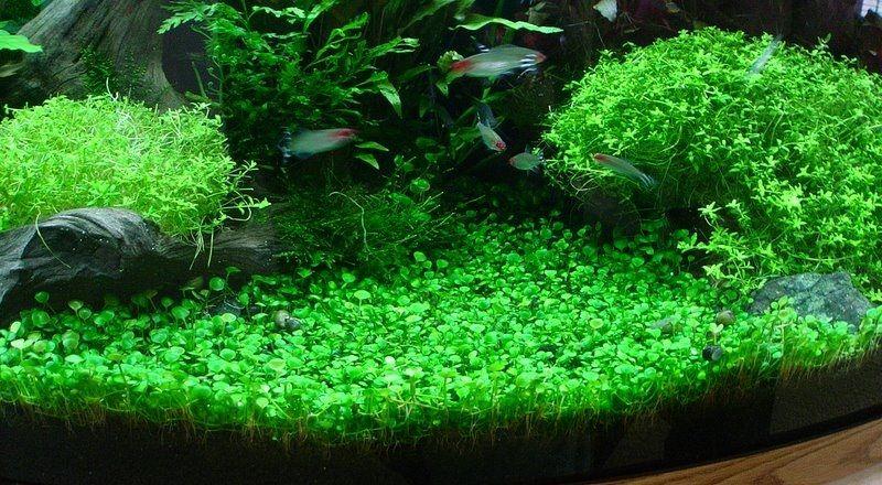 Marsilea Hirsuta Freshwater Plants Betta Fish Tank Fish Plants